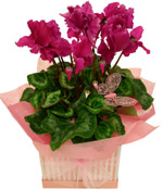 Cyclamen Plant For Mum
